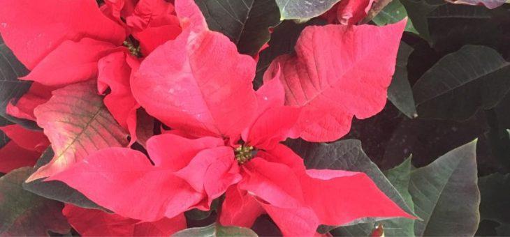 Stand flori (crăciunițe)